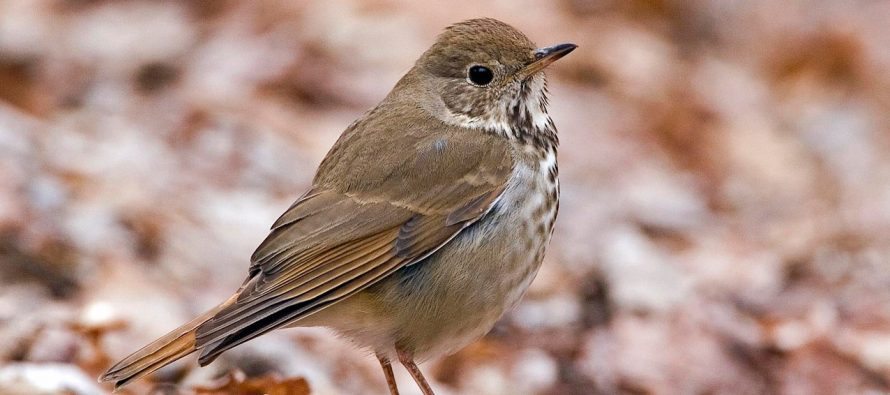 Ptica sa muzičkim ukusom