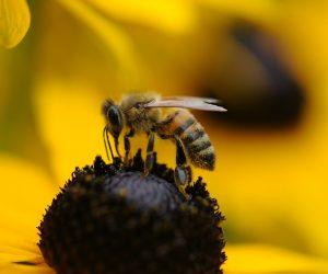 Ovaj holandski grad na neobičan način pomaže pčelama