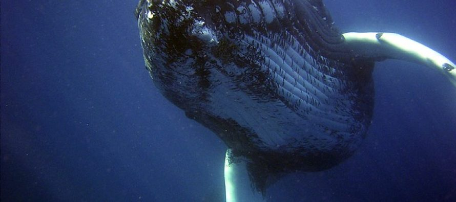 Neraskidiva veza čovjeka i životinja: Kit spasao ronioca od napada ajkule! (VIDEO)