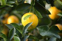 Sprečavaju li citrusi oboljenja?