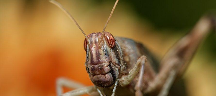 Budućnost kuliranstva: Prženi insekti?
