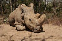 Uginuo je Sudan: Posljednji mužjak sjevernog bijelog nosoroga