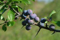 Super otporna i kompletno zdrava biljka