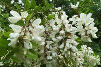 Bagrem: kraljevsko drvo